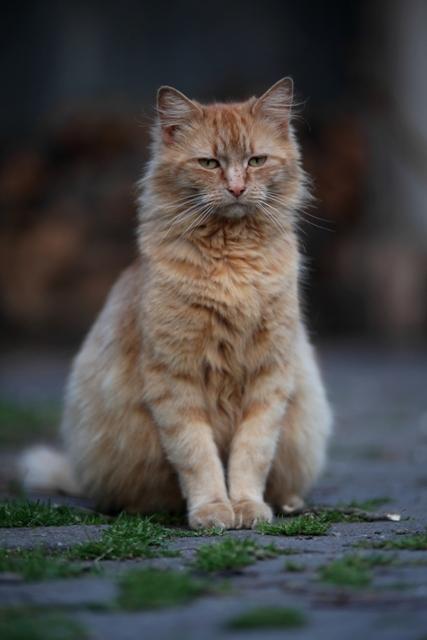 Nevena cat